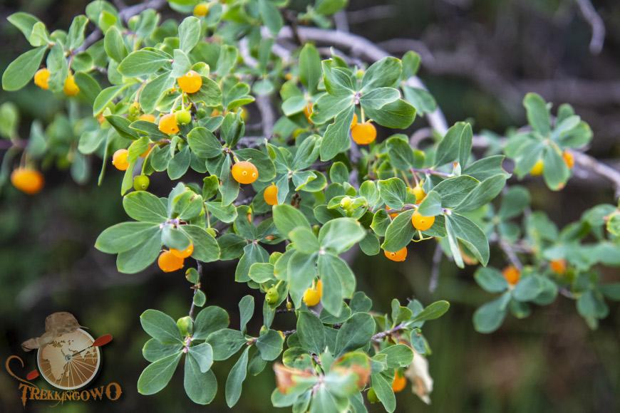 Szczyt Uczyciel (Uchitel)  owoce kirgistan trekkingowo